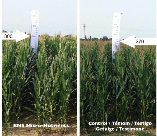 effect on corn
