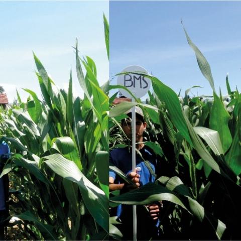 Zinktoepassingen op mais