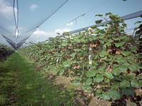 Las ventajas de la fertilización foliar
